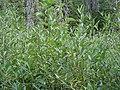 Salix lemmonii (5027508828).jpg