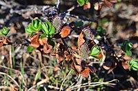 Salix pulchra-MW0158286-live.jpg