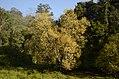 Salix tetrasperma Indian Willow tree from Anaimalai Tiger Reserve JEG1502.JPG