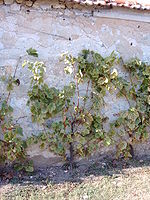 Le chasselas de Thomery sur un mur traditionnel.