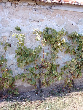 Le chasselas de Thomery sur un mur traditionnel