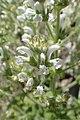Salvia aethiopis kz04.jpg