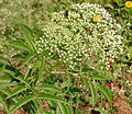 Sambucus canadensis W3 IMG 3149.jpg