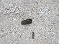 Sand Wasp (3626637016).jpg