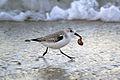 Sanderling (Calidris alba) (16019568395).jpg