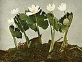 Sanguinaria canadensis WFNY-077.jpg
