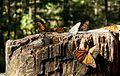 Santuario de la mariposa Monarca (3306973912).jpg