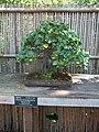 Sarasota FL Selby Gardens bonsai ficus t01.jpg