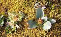 Saxifraga hieracifolia right IMG 5640 stivsildre reinsdyrflya.JPG