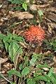 Scadoxus multiflorus (Amaryllidoideae) (24076154529).jpg