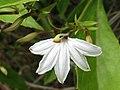 Scaevola chamissoniana (5210126906).jpg