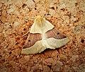 Scalloped Oak. Crocallis elingularia form unicolor (45005934754).jpg