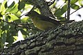 Scarlet Tanager (female) Smith Oaks High Island TX 2018-04-15 09-38-20 (27078463897).jpg