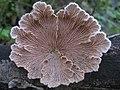 Schizophyllum commune Fr 299074.jpg