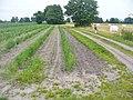 Schlunkendorf - Spargelfeld (Asparagus Field) - geo.hlipp.de - 39185.jpg