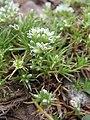 Scleranthus perennis plant (09).jpg
