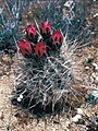 Sclerocactus polyancistrus fh 87 9 albino form CAL B.jpg