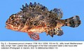 Scorpaena porcus (10.3989-scimar.04824.17A) Figure 3.jpg
