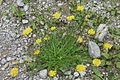 Scorzoneroides autumnalis (Schuppenleuenzahn) IMG 4446.JPG