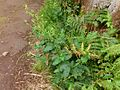 Scrophularia smithii Tenerife 1.jpg