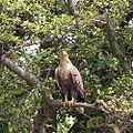 Sea Eagle (7244103440).jpg