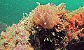 Sea Slug (Halgerda batangas) (6087934369).jpg