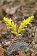 Sierra Mock Stonecrop - Photo (c) marlin harms, some rights reserved (CC BY)