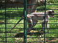 Seitenansicht Weißscheitelmangabe Zoo Landau.JPG
