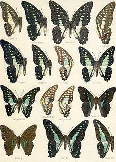 <i>Graphium gelon</i> species of insect