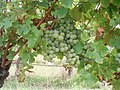 Semillon grapes.jpg