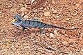 Senegal chameleon (Chamaeleo senegalensis).jpg