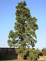 Sequoiadendron giganteum at Kenilworth Castle.jpg