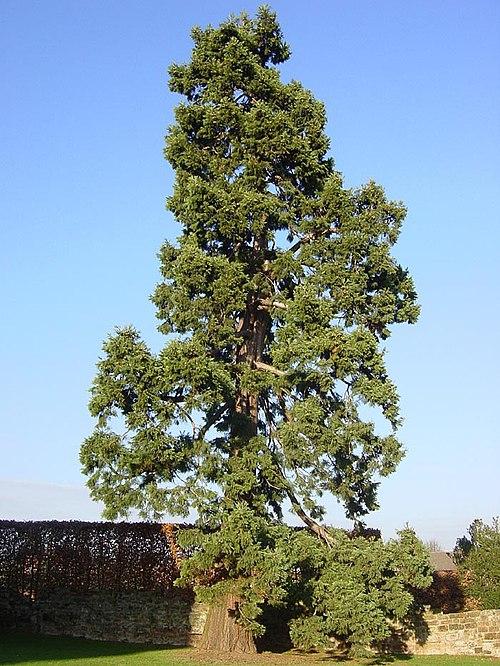 Dating gamla träd