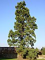 Sequoiadendron giganteum at Kenilworth Castle.jpg
