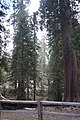 Sequoya National forest Giant Forest en2016 (16).JPG