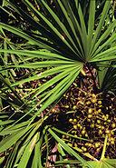 Serenoa repens USDA1