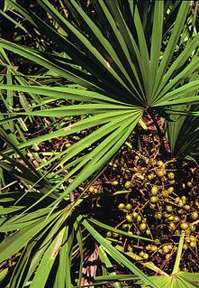 <i>Serenoa</i> species of plant
