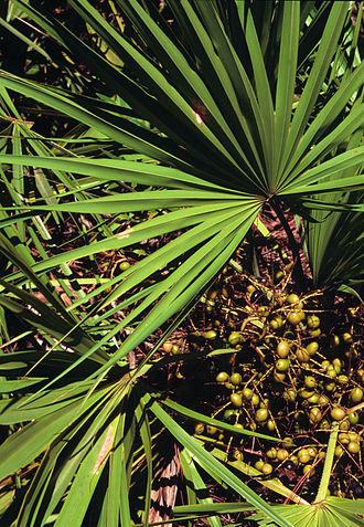 Serenoa - Image: Serenoa repens USDA1