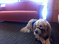 Service dog at the doctor's office waiting room.jpg