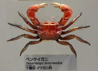 Sesarmidae family of crustaceans