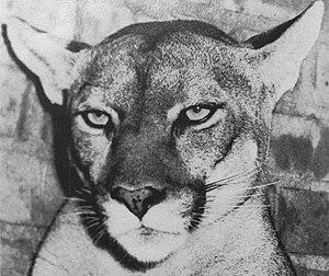 Shasta (mascot) - Shasta I, ca. 1952