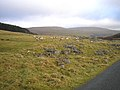 Sheep and rocks - geograph.org.uk - 101837.jpg