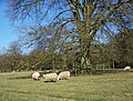 Sheep in Rushmoor Park - geograph.org.uk - 681872.jpg