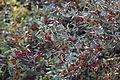 Shepherdia canadensis 01.JPG