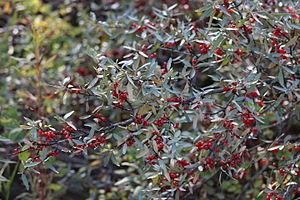 Shepherdia canadensis - Image: Shepherdia canadensis 01