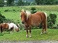 Shetland Pony - geograph.org.uk - 491784.jpg