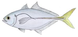 Shrimp scad - Image: Shrimp scad