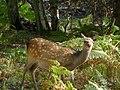 Sika doe at Arne RSPB nature reserve - geograph.org.uk - 1769478.jpg