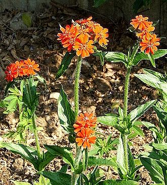 County flowers of the United Kingdom - Maltese-cross