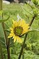 Silphium integrifolium 2.jpg